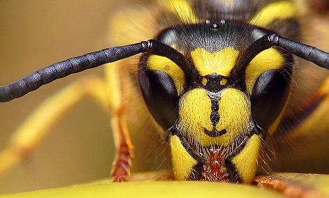 فیلم/ کرونا با زهر زنبور درمان میشود!