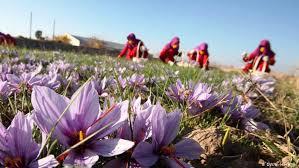 بزرگترین خریدار زعفران ایران مصرف کننده آن نیست!